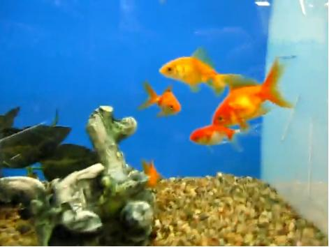 what do goldfish eggs look like in a fish tank. goldfish eggs look like.