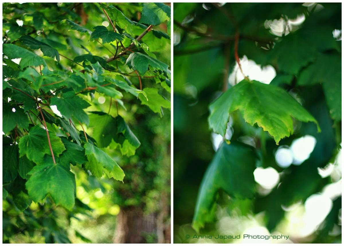 sycamore trees, nature, summer feeling