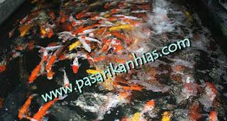 Pasar Ikan Hias Daerah Tangerang