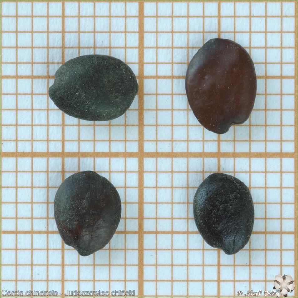 Cercis chinensis seeds - Judaszowiec chiński nasiona