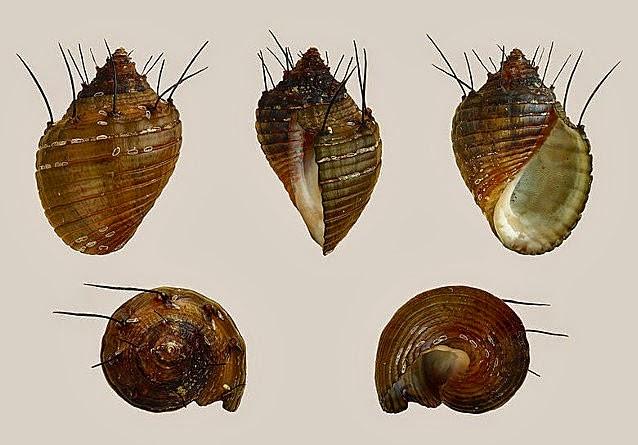 Giant Hairy Snail Coast Of Vancouver Island