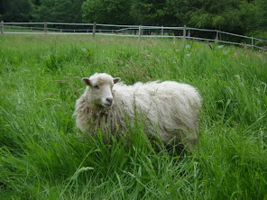 White Ouessant Ewe