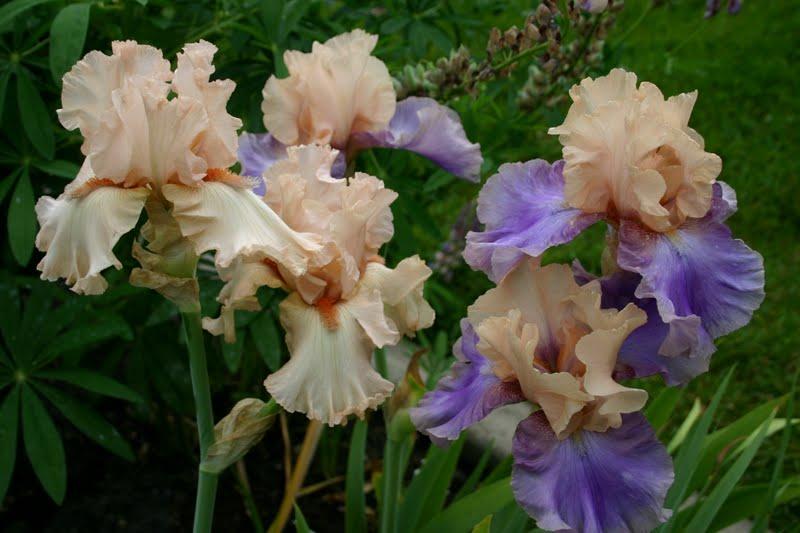 World of irises: heavenly hager irises