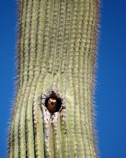 The saguaro cactus and its greedy guests kuriositas for Cactus imagenes