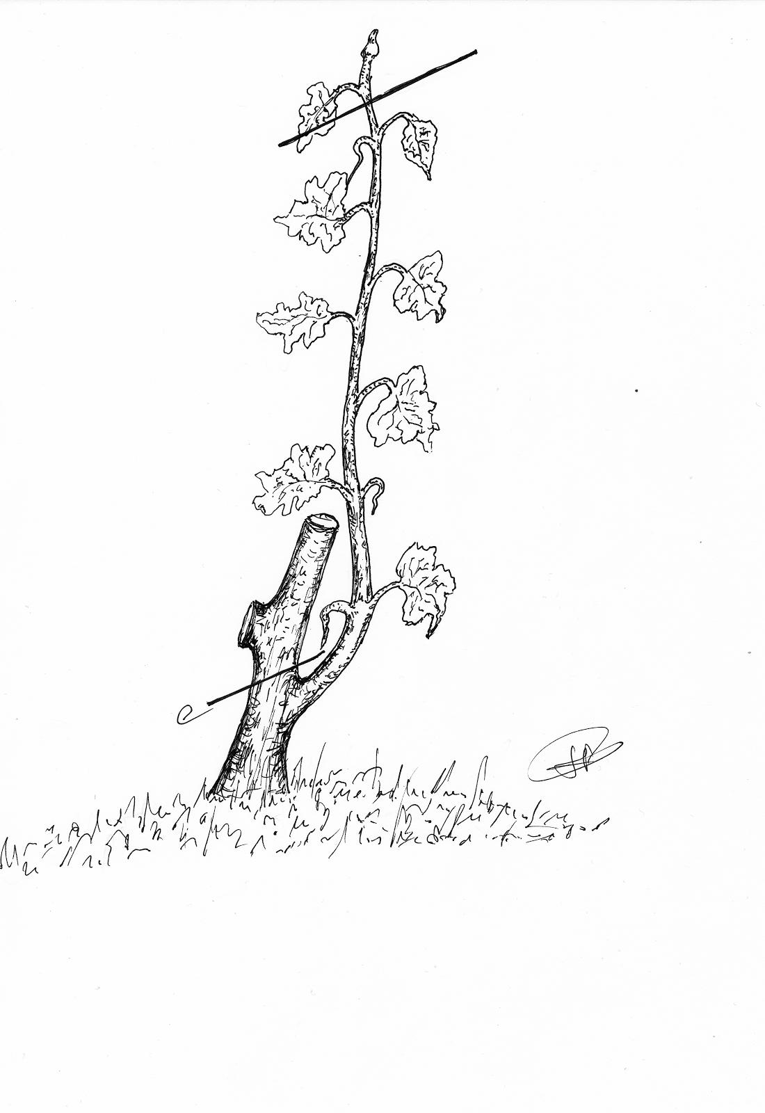 Jack et le haricot magique page 2 mobiliser le langage dans toutes ses dimensions forums - Acheter pied de vigne ...