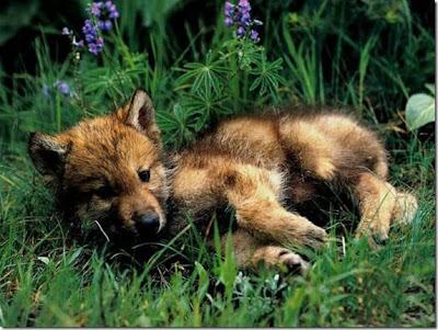 Hình ảnh đẹp về con chó sói
