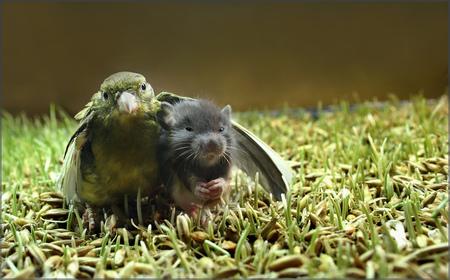 foto pássaro e rato