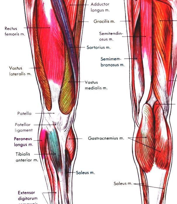 Human Leg Human Leg Muscles Diagram