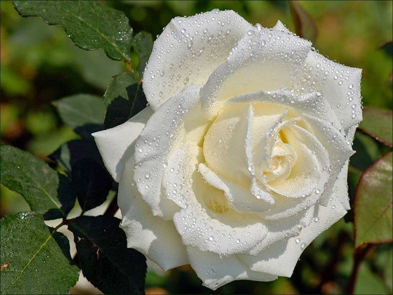 Rosa... Uma Rosa...