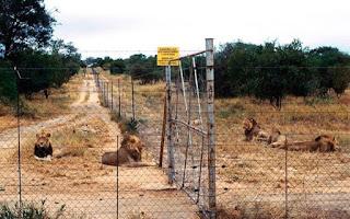 Cerca de 7 mil leões estão confinados em fazendas para animais na África do Su