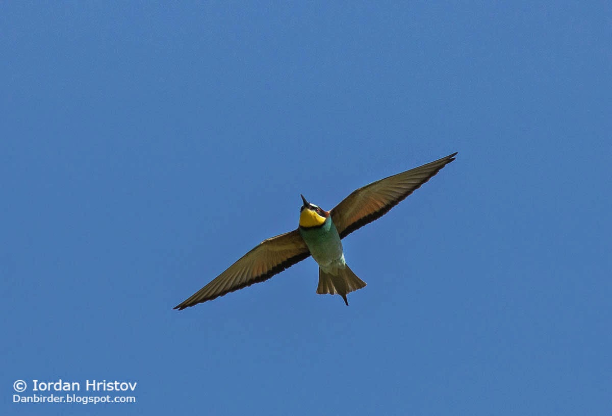 Bee-eater photography, copyright Iordan Hristov