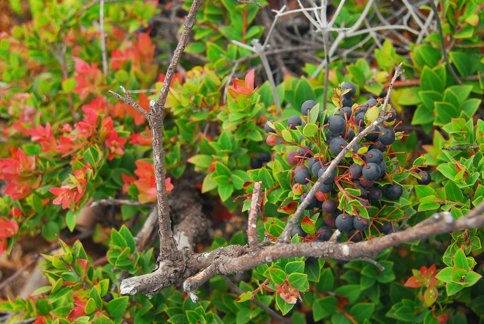 wild berries at mount apo