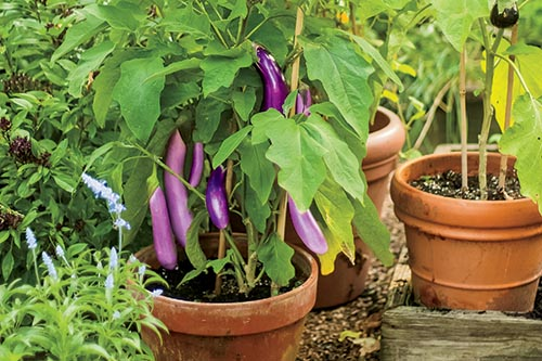 photo of eggplant grown in a container