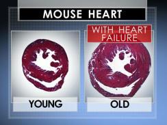 Jantung Tikus Tua dan Muda Sebelum Pemberian Hormon GDF-11