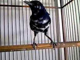 Burung Kacer Lengkap Beserta Gambar