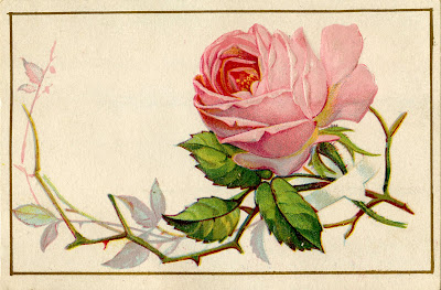 Vintage Image Old Pink Rose Cabbage Thorns