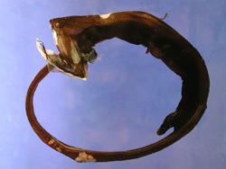 Gulper Eel Fish  - Hewan Teraneh
