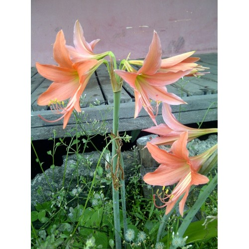 Makalah morfologi tumbuhan bunga sepatu sawinmedia tv makalah morfologi tumbuhan bunga sepatu ccuart Images
