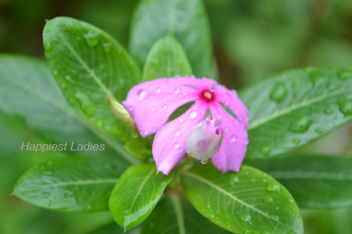 Vinca-Rosea-pink-flowe-and-bud-+-pink-ribbon-flowers.png