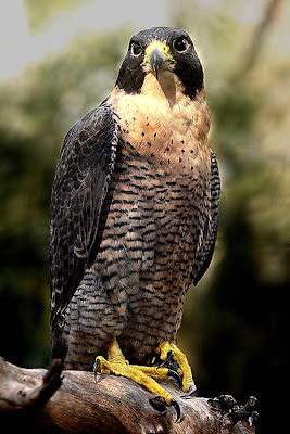 Halcón peregrino o Falco peregrinus