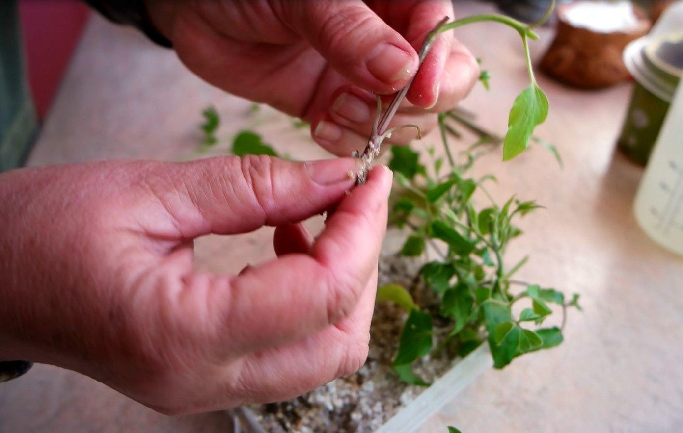Размножение клематисов. черенкованием, отводками Дачный участок 99