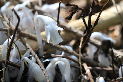 Monotropa uniflora (Single-Flowered Indian Pipe) Coming Up Through the Forest Floor
