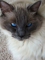 colour photo of close up of blue-eyed Ragdoll Cat