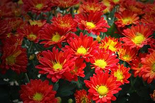 Pemeliharaan Tanaman Bunga Krisan