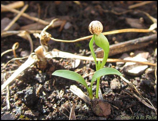 coriandre semis