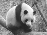 Panda géant, Chine