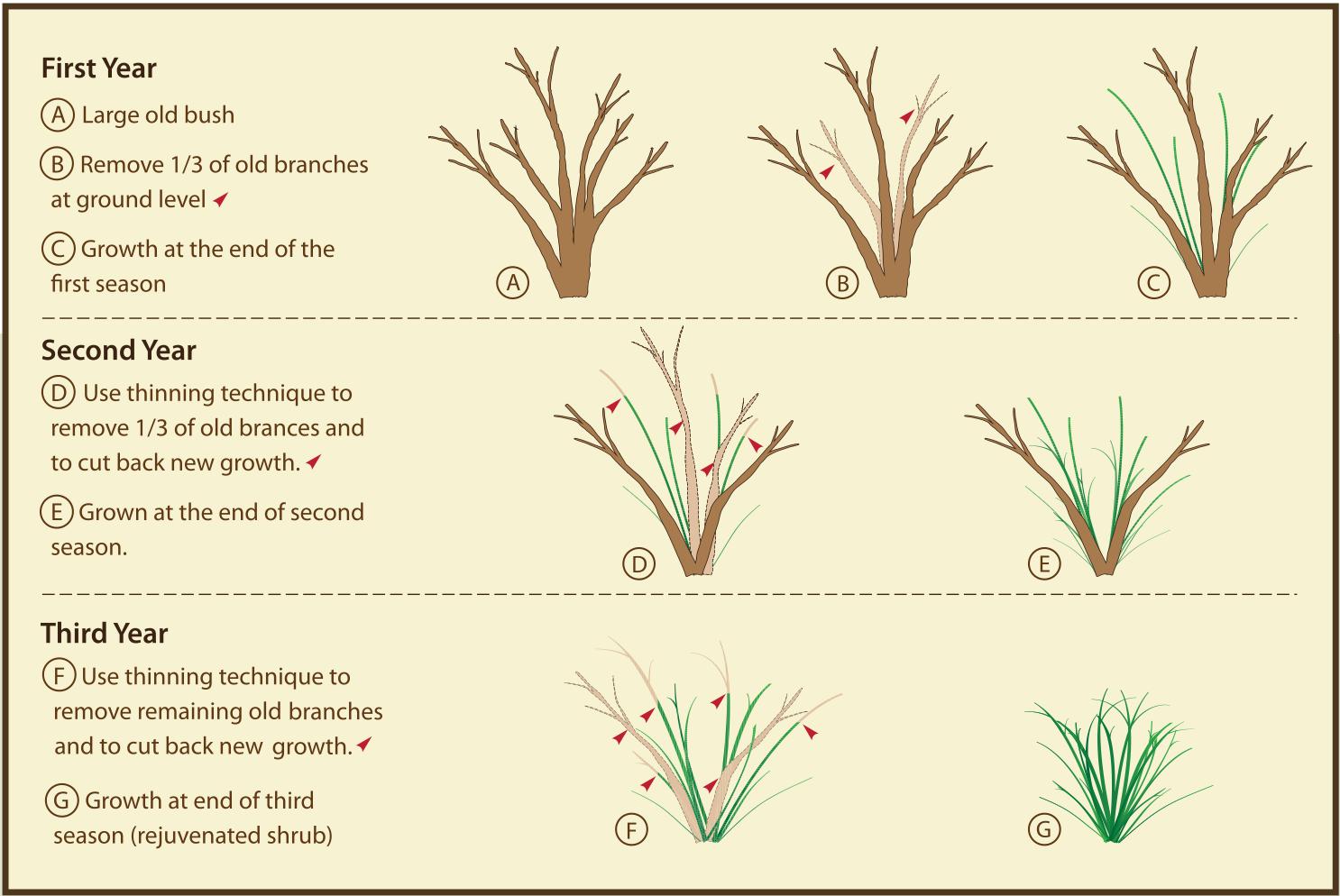 morris arboretum rejuvenative pruning of mature shrubs, Natural flower