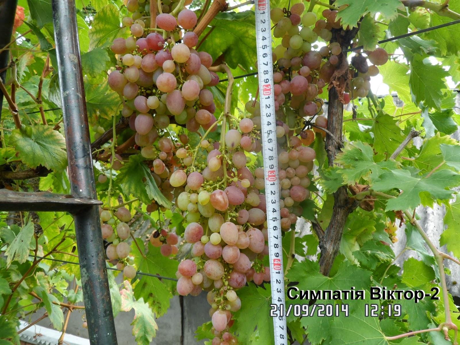 Виноград софия  описание
