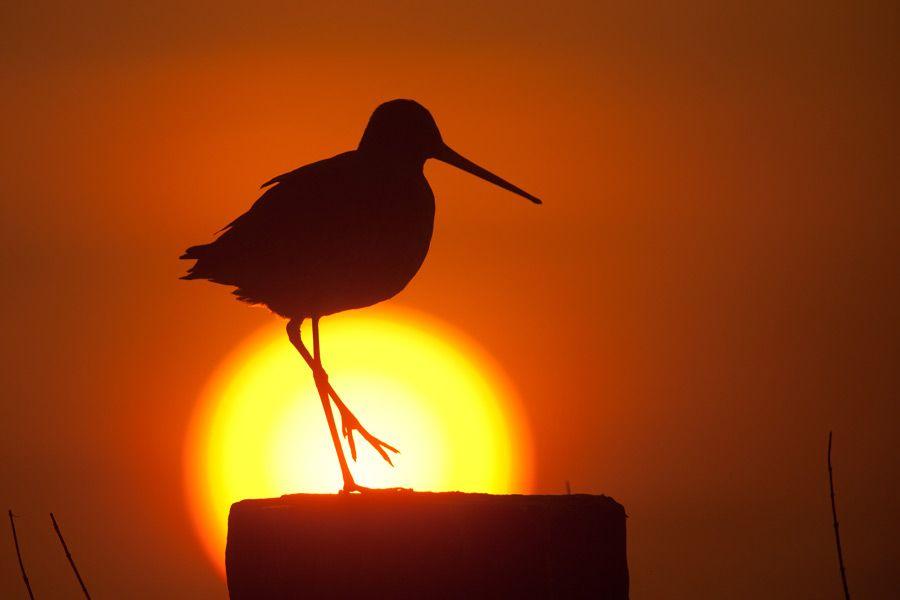 26. Black-tailed gotwit by Johannes Klapwijk