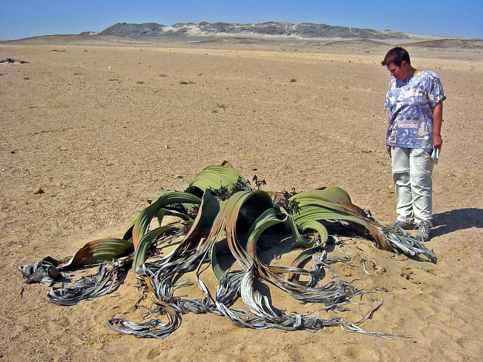 بصلة الصحراء