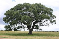 The majestic Marula tree that grows extensively in Swaziland