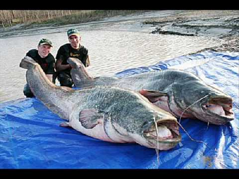 Bilal asif worlds largest fish for World of fishing