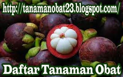 Tanaman Obat Manggis  (Garcinia mangostana L.)