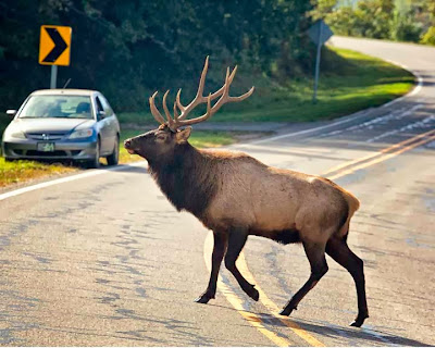 bull elk crossing road