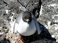 Galapagos Swallow-Tailed Gull Protecting Her Chick