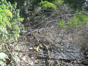 KILLED MANGROVES