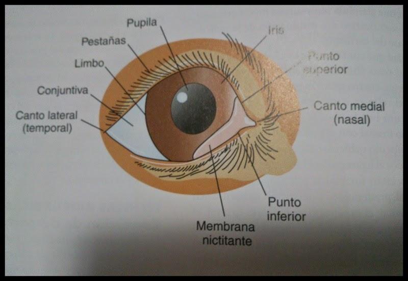 Clinica Veterinaria Torreblanca: LUXACIÓN DE LA GLÁNDULA LACRIMAL DE ...