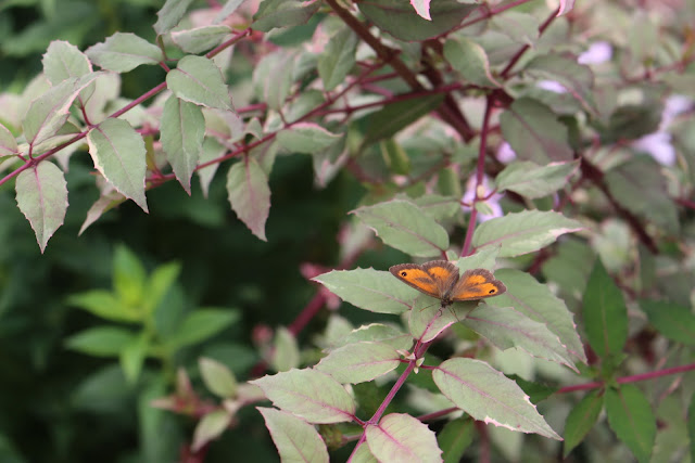 Summer gardening: Gatekeeper butterfly on Fuchsia magellanica