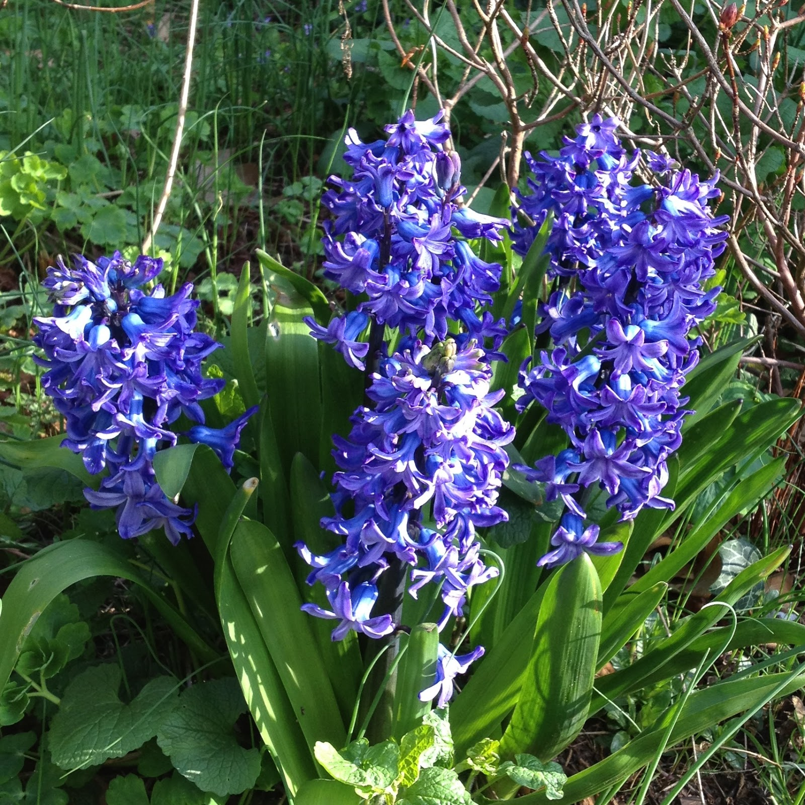 Pell wall perfumes blog hyacinth flower scent whats actually in the scent of a flower izmirmasajfo