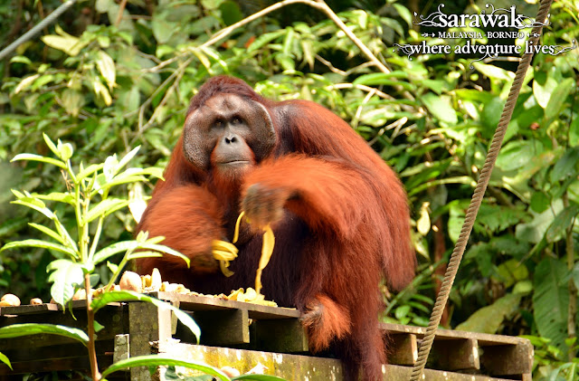 The largest male and orang utan at Semenggoh Nature Reserve - Ritchie