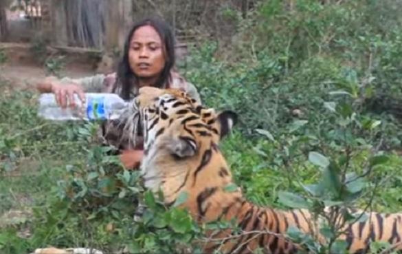 Harimau Seberat 171 Kg Menjadi Sahabat Karib
