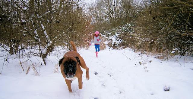 boxer dog running through snowy woods