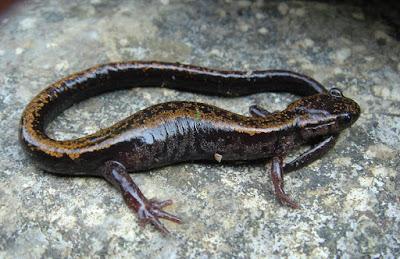 Golden striped Salamander
