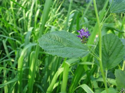 Psoralea (Psoralea Corylifolia) Overview, Health Benefits, Side effects