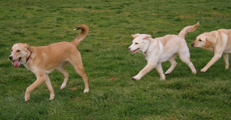 two blonde shepherd mix dogs followed by equally blonde Cabana all following each other in a line