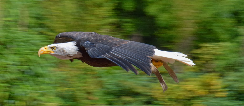 panning technique to photograph birds in fight